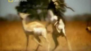 Animal Sex indian deer  Blackbuck
