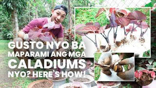 HOW TO PROPAGATE CALADIUMS + CARE TIPS!