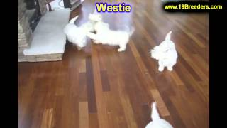 West Highland Terrier, Puppies, For, Sale, In, Salt Lake City, Utah, Ut, Tooele, Kearns, Cottonwood
