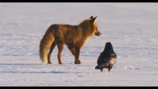 Жизнь возле дороги: вороны гоняют лис, косули, кабаны и серые куропатки.
