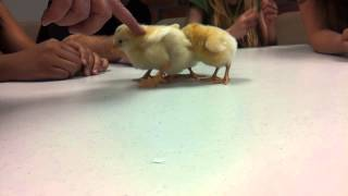 Cutest little chicks