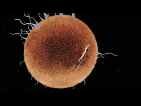 Fertilization Conception - YouTube