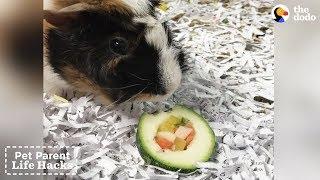 Sushi for Guinea Pigs | The Dodo Pet Parent Hacks thumbnail