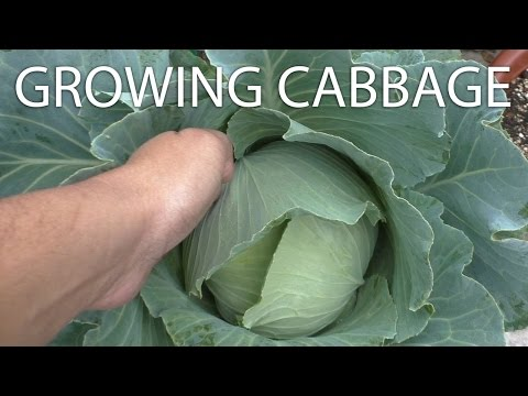 Growing Cabbage - Tips & Harvest