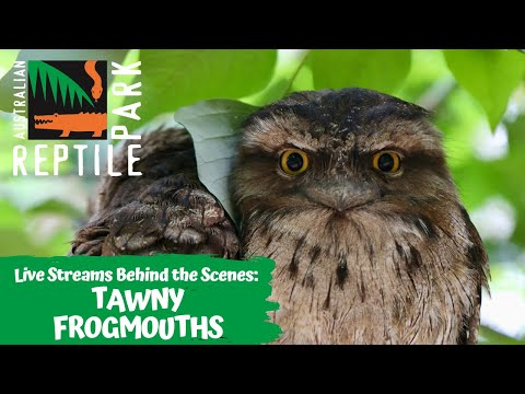 TAWNY FROUGMOUTHS (LIVE FOOTAGE) | AUSTRALIAN REPTILE PARK