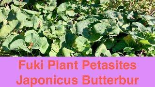 Fuki Plant Petasites Japonicus Butterbur