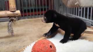 Rescued bear cub is so young he