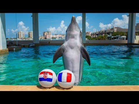 Nicholas the Dolphin Picks World Cup Winner - France vs Croatia
