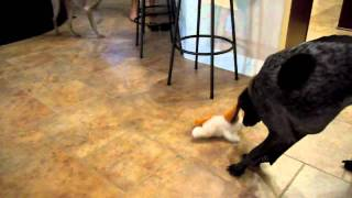 German Shorthaired Pointer And Weimaraner Play With Laughing Dog Part 1