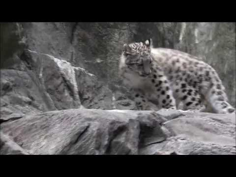 Silly Snow Leopard Cub Chases His Tail - So Cute!