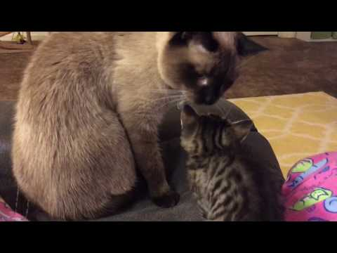 Siamese Cat Max Reacts to Baby Foster Kitten!