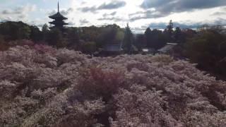 2016年春 仁和寺 御室桜