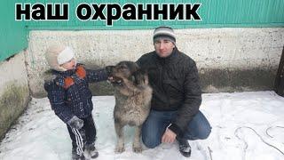 кавказская овчарка наша охранная собака( рассказ а также катание на санках в упряжке)