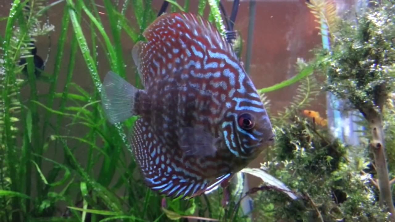 Discus changing colors - YouTube