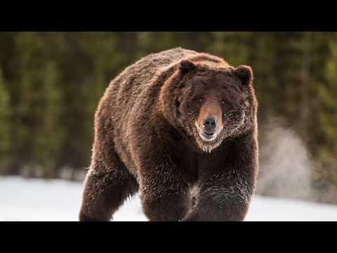 Как готовятся медведи к зиме