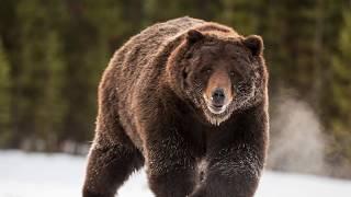 Как и почему медведи спят зимой? Сосет ли медведь лапу?  Зимовка медведей. Для детей.