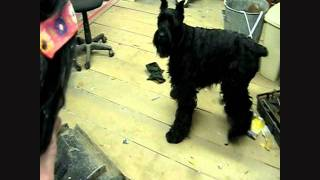 Giant Schnauzer, Heidi,  Scared Of Ugly Woman