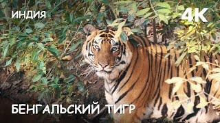 Мир Приключений - Бенгальский тигр и его семейство. Джунгли Индии 4К. Bengal tiger Bandhavgarh India