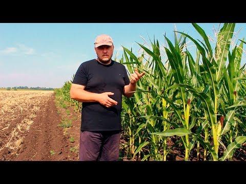 Кукуруза. Выращивание в засушливом регионе.