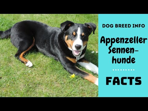 Appenzeller Sennenhunde Dog Breed All Breed Characteristics