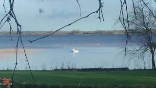 Swans On Lough Ennell, County Westmeath