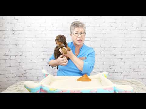 Learn About 6 Week Old Mini Labradoodle Puppies Video