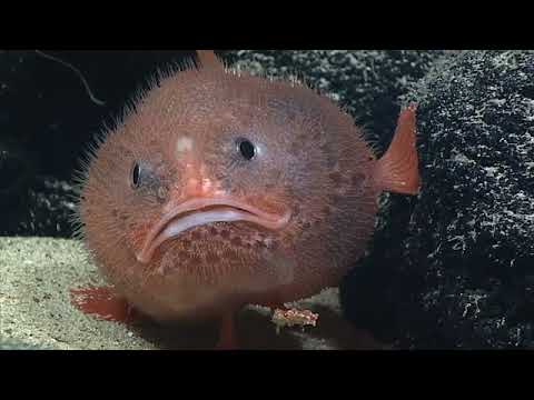 This Fish Can Hold Its Breath