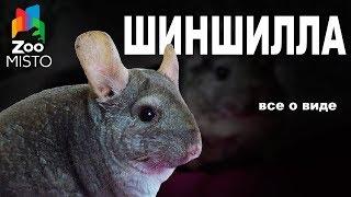 Шиншилла - Все о виде грызуна | Вид грызуна - Шиншилла