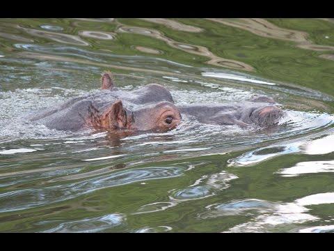 Nijlpaarden, Nijlantilopen, Sitatoenga's / Hippos , Nile lechwes , sitatungas : Beekse Bergen
