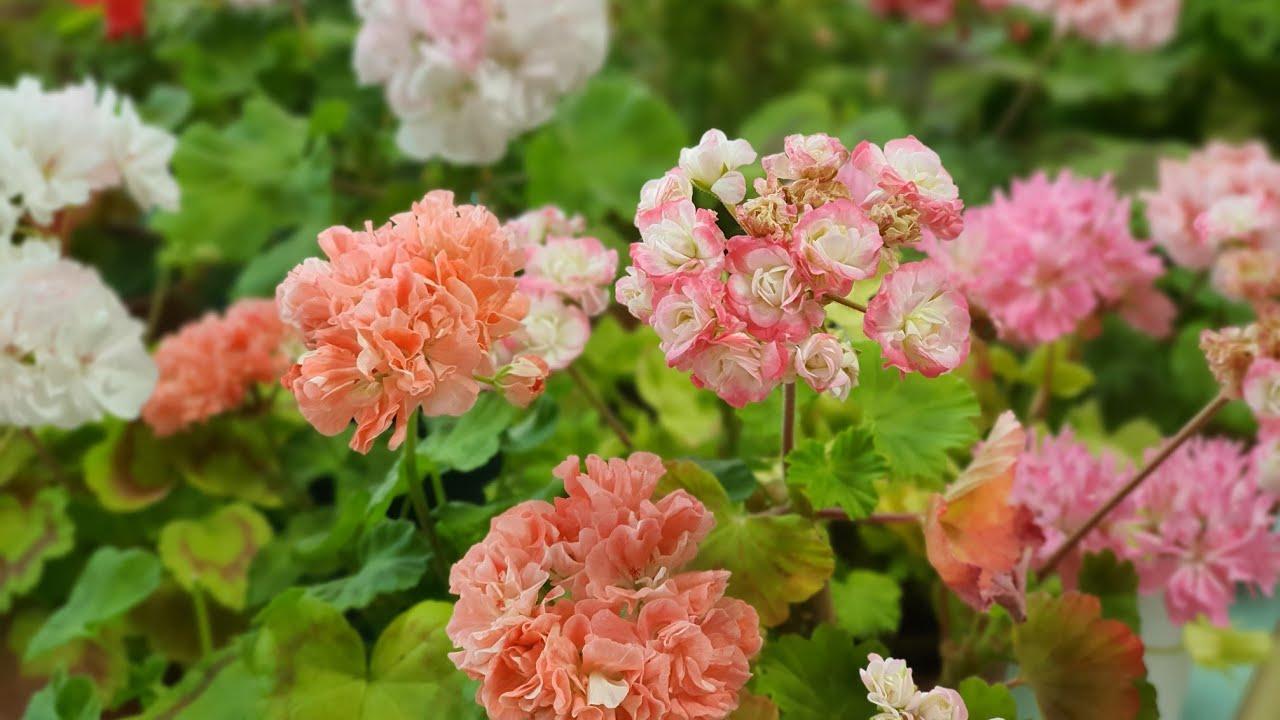 2020년07월06일 제라늄 꽃밭 : 에이프릴스노우 꽃 비교. Pelargonium garden. Geranium.