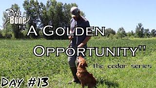 Teaching Golden Retriever to Heel: A Golden Opportunity | Ep: #13
