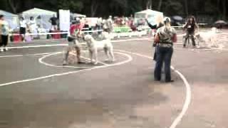 сравнение на ЛК, Горат пз ''с Белого Острова'' САО  выставка собак Мелитополь 8 июня