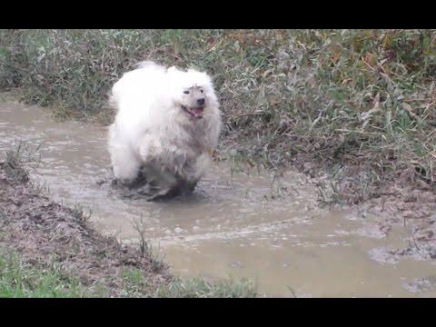 Aspen the Samoyed, Bath Day