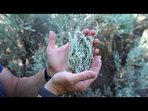 Sagebrush And What It's Good For! (Pooping?)