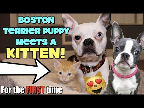 Boston Terrier Puppy meets a KITTEN for the first time TOO CUTE