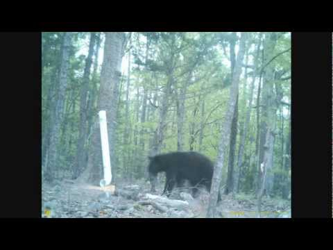 Bears natural setting (Arkansas wildlife)