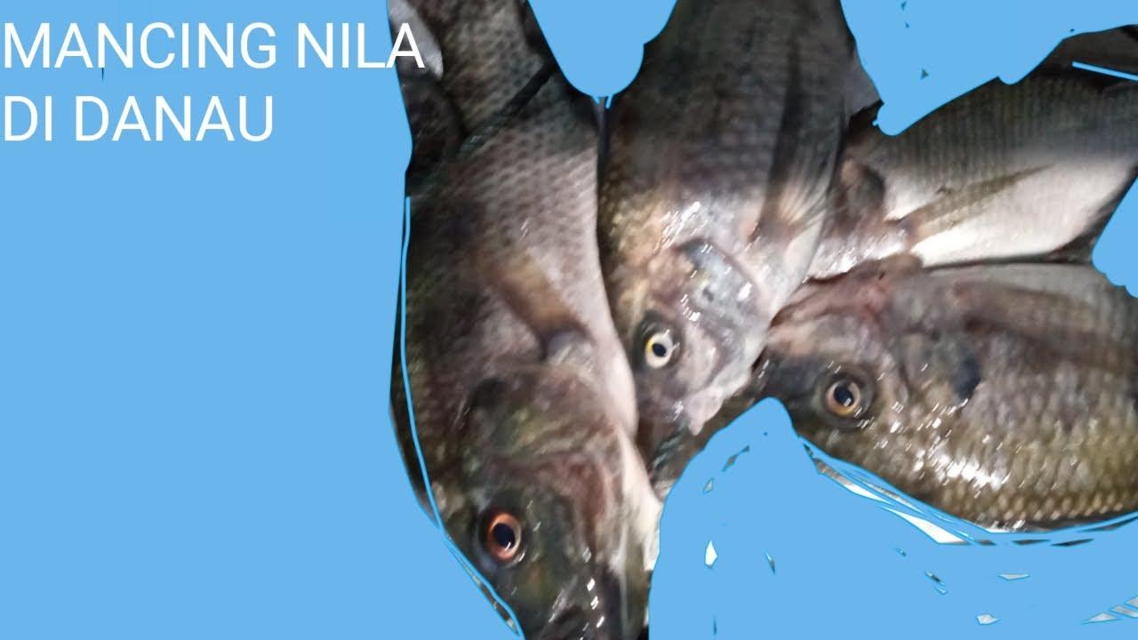 Mujair Besar Ikan Mas Besar Untuk Dijual Saja Youtube