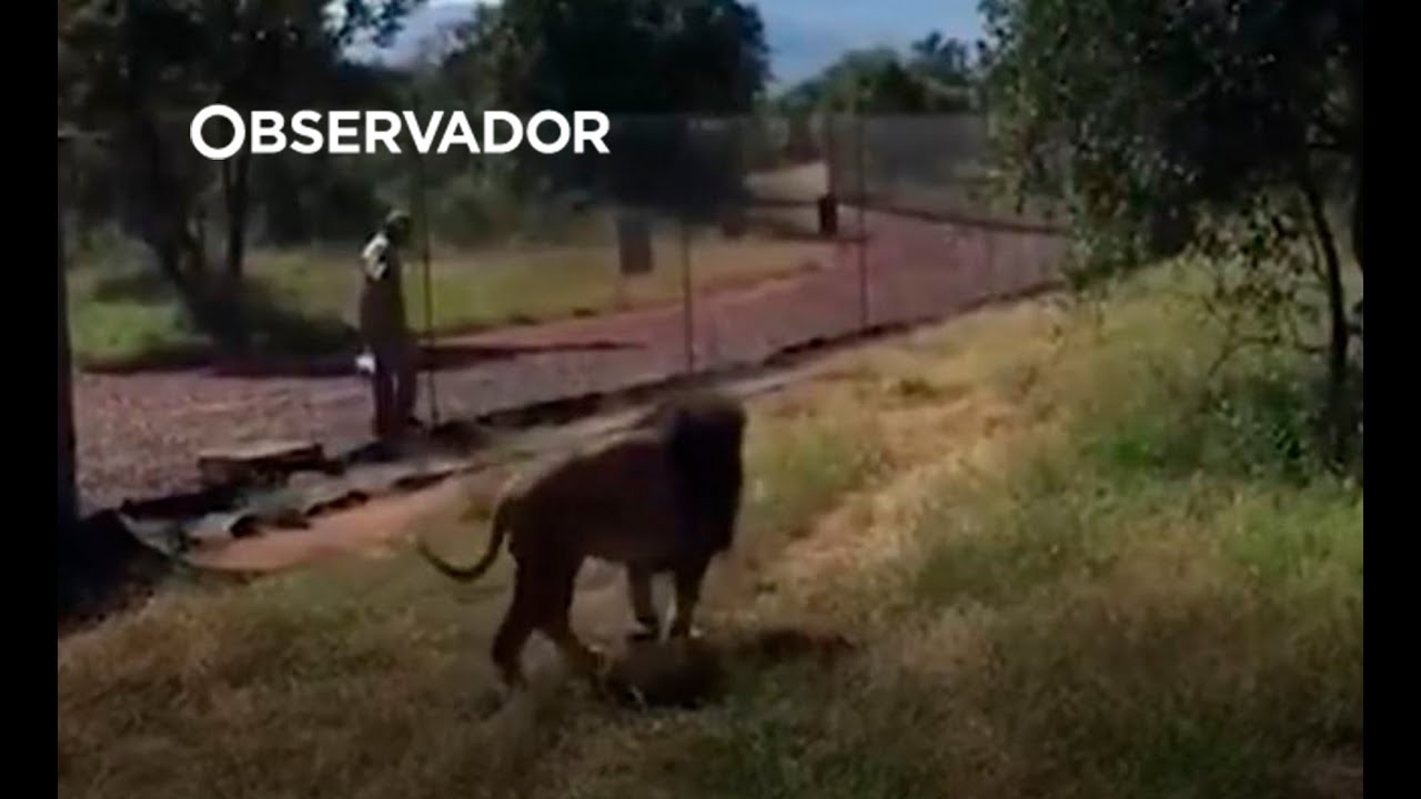 Homem sobrevive a ataque do leão que criou