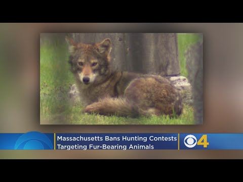 Massachusetts Bans Hunting Contests Targeting Fur-Bearing Animals