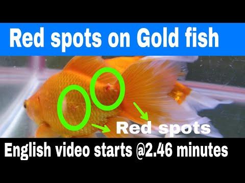 Goldfish Diseases Prevention & Treatment  IFish DrI