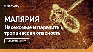 Малярия | Насекомые и паразиты: тропическая опасность | Discovery