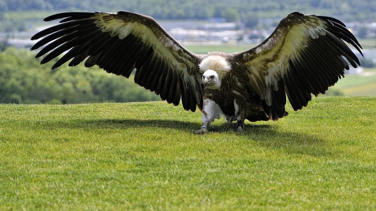 самая хищная птица в мире