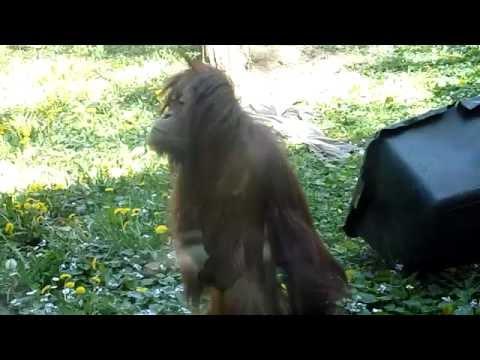 Sumatran Orangutan Moira found a human friend (Budapest Zoo)