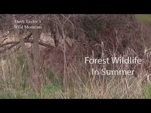 Forest Wildlife in Summer