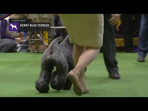 Kerry Blue Terriers | Breed Judging 2019