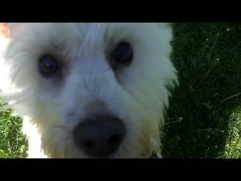 West Highland White Terrier Jolly Jake still jolly even though he's gone blind.