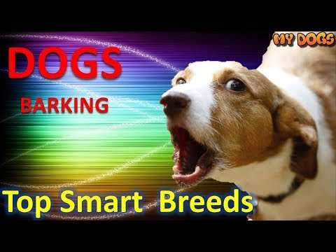 Dogs Barking – Top 10 Smart Dogs In The World