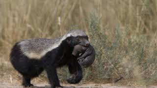 Honey Badger | Honey badgers are the world's most fearless animal.