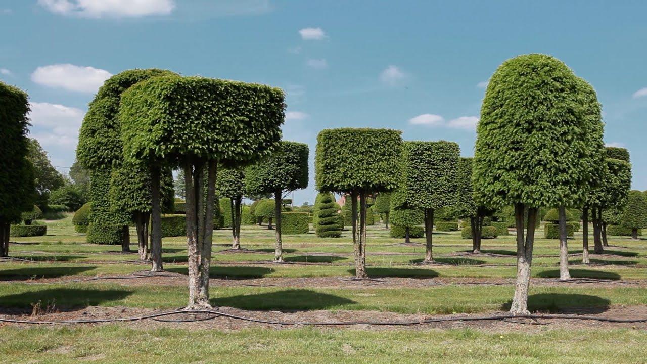 Urban Growth Solitair Tree Nursery