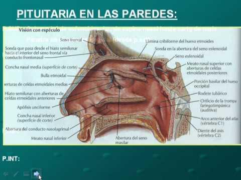 fosas nasales pituitaria